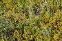 Карликовая береза  (Betula nana L.) и шикша водяная растет в тундре. Кольский полуостров, фото № 24827889, снято 19 июля 2015 г. (c) Ирина Борсученко / Фотобанк Лори