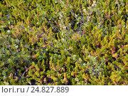 Купить «Карликовая береза  (Betula nana L.) и шикша водяная растет в тундре. Кольский полуостров», фото № 24827889, снято 19 июля 2015 г. (c) Ирина Борсученко / Фотобанк Лори