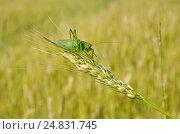 Купить «Кузнечик зелёный (лат. Tettigonia viridissima) на колоске ржи», эксклюзивное фото № 24831745, снято 9 июля 2016 г. (c) Елена Коромыслова / Фотобанк Лори