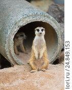 Купить «Meerkat or suricate (Suricata suricatta)», фото № 24849153, снято 28 октября 2016 г. (c) Александр Подшивалов / Фотобанк Лори
