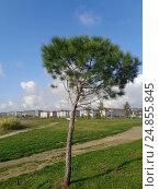 Купить «Молодое хвойное дерево на зеленой лужайке в парке», фото № 24855845, снято 12 ноября 2016 г. (c) DiS / Фотобанк Лори