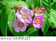 Купить «Малина душистая, или малиноклён (Rubus odoratus)», фото № 24859221, снято 5 июня 2012 г. (c) Алёшина Оксана / Фотобанк Лори