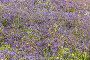Small blue spring flowers, фото № 24859305, снято 17 апреля 2015 г. (c) Argument / Фотобанк Лори