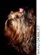 Купить «Портрет самки йоркширского терьера на тёмном фоне», фото № 24866317, снято 8 марта 2014 г. (c) Эдуард Паравян / Фотобанк Лори