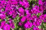 Декоративные цветы, фото № 24866833, снято 14 июля 2014 г. (c) Slasha / Фотобанк Лори