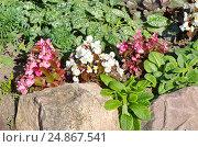 Купить «Бегония вечноцветущая (лат. Begonia semperflorens) на клумбе в саду», фото № 24867541, снято 17 июля 2016 г. (c) Елена Коромыслова / Фотобанк Лори