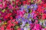 Фон из разноцветных петуний, фото № 24872241, снято 4 июля 2014 г. (c) Наталья Волкова / Фотобанк Лори