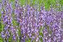 Цветы Шалфея. Salvia nemorosa, фото № 24874237, снято 16 июня 2015 г. (c) Мурина Ольга / Фотобанк Лори