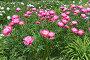 Куст цветов розовых пионов, фото № 24874245, снято 16 июня 2015 г. (c) Мурина Ольга / Фотобанк Лори