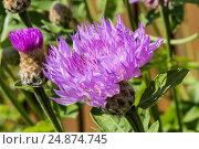 Цветок розового василька крупным планом, фото № 24874745, снято 26 июня 2016 г. (c) Наталья Волкова / Фотобанк Лори