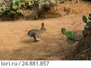Калифорнийский зайчик прыгает между кактусами, фото № 24881857, снято 30 октября 2016 г. (c) Сергей Александров / Фотобанк Лори