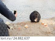 Купить «Нутрия ест хлеб, и ее снимают на телефон», фото № 24882637, снято 6 февраля 2015 г. (c) Мурина Ольга / Фотобанк Лори