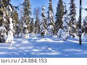 Купить «Хвойный лес солнечным днем», фото № 24884153, снято 14 марта 2015 г. (c) Евгений Ткачёв / Фотобанк Лори