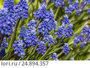 Купить «Flowerbed with hyacinths», фото № 24894357, снято 23 апреля 2016 г. (c) Ирина Толокновская / Фотобанк Лори