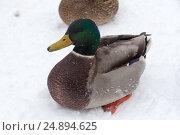Купить «Дикая утка, зимующая в городе на пруду», фото № 24894625, снято 14 декабря 2016 г. (c) Татьяна Егорова / Фотобанк Лори