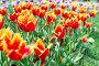 Красивое поле тюльпанов в весеннее время, фото № 24897973, снято 12 мая 2014 г. (c) Валерия Потапова / Фотобанк Лори