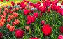 Красивое поле тюльпанов в весеннее время, фото № 24897977, снято 12 мая 2014 г. (c) Валерия Потапова / Фотобанк Лори