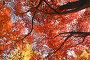 Вершины клена дальневосточного с красными листьями на фоне синего неба, фото № 24908549, снято 11 ноября 2016 г. (c) Ольга Липунова / Фотобанк Лори