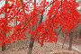 Осенний лесопарк с яркими красными кленовыми листьями, фото № 24908785, снято 7 ноября 2016 г. (c) Ольга Липунова / Фотобанк Лори
