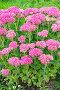 Декоративное садовое растение Очиток видный ( лат. Sedum spectabile ). Осеннее цветение, фото № 24920593, снято 22 сентября 2013 г. (c) Евгений Мухортов / Фотобанк Лори