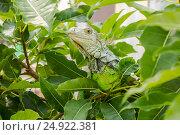 The Iguana on the Tree. Стоковое фото, фотограф Александр Бекишев / Фотобанк Лори