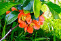 Айва цветущая, фото № 24924301, снято 1 июня 2015 г. (c) Резеда Костылева / Фотобанк Лори