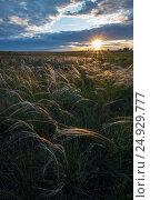 Красиво прогнувшиеся от ветра длинные руки ковыли, зазолотились под лучами заходящего солнца. Стоковое фото, фотограф Кузякин Иван / Фотобанк Лори