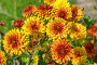 Оранжевые хризантемы крупным планом, эксклюзивное фото № 24930001, снято 21 августа 2016 г. (c) Елена Коромыслова / Фотобанк Лори