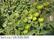 Зеленые помидоры зреют в парнике. Стоковое фото, фотограф Елена Коромыслова / Фотобанк Лори