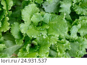 Купить «Green fresh salad leaves covered raindrops at the garden, top view», фото № 24931537, снято 9 июля 2016 г. (c) Александр Волков / Фотобанк Лори
