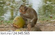 Купить «Monkey eating coconut», видеоролик № 24945565, снято 7 декабря 2016 г. (c) Михаил Коханчиков / Фотобанк Лори
