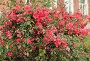 Куст цветущей айвы японской на фоне сельского дома, фото № 24948077, снято 1 мая 2015 г. (c) Ирина Водяник / Фотобанк Лори