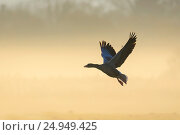 Купить «Starting Greylag goose in morning mist at sunrise, Anser anser, Hesse, Germany, Europe.», фото № 24949425, снято 24 ноября 2016 г. (c) age Fotostock / Фотобанк Лори
