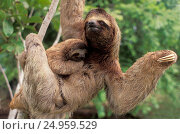 Купить «Three-toed Sloth and baby (Bradypus variegatus). Corcovado National Park. Costa Rica», фото № 24959529, снято 6 марта 2020 г. (c) age Fotostock / Фотобанк Лори