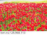Поле красных тюльпанов. Стоковое фото, фотограф Дмитрий Тищенко / Фотобанк Лори