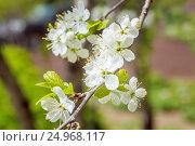 Ветка яблони в цветах весной. Стоковое фото, фотограф Дмитрий Тищенко / Фотобанк Лори