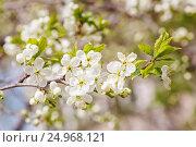 Купить «Цветущая ветка яблони», фото № 24968121, снято 5 мая 2016 г. (c) Дмитрий Тищенко / Фотобанк Лори