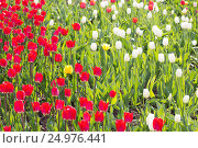 Red and white tulips. Стоковое фото, фотограф Дмитрий Тищенко / Фотобанк Лори