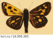 Купить «Бабочка - Крепкоголовка лесная (Pamphila silvius Knoch )», иллюстрация № 24995385 (c) Макаров Алексей / Фотобанк Лори