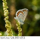 Купить «Бабочка Голубянка икар (Polyomathus icarus)  сидит на траве. Макро снимок», эксклюзивное фото № 24997013, снято 13 августа 2016 г. (c) Игорь Низов / Фотобанк Лори