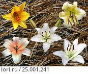 Коллаж из белых и желтых лилий. Стоковое фото, фотограф Геннадий Раевский / Фотобанк Лори
