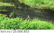 Купить «Creek overgrown by algae in summer in Russia», видеоролик № 25006853, снято 30 января 2017 г. (c) Володина Ольга / Фотобанк Лори