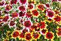 Фон из разноцветных цветов гайлардии гибридной, фото № 25028365, снято 4 июля 2014 г. (c) Наталья Волкова / Фотобанк Лори