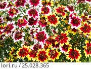 Купить «Фон из разноцветных цветов гайлардии гибридной», фото № 25028365, снято 4 июля 2014 г. (c) Наталья Волкова / Фотобанк Лори