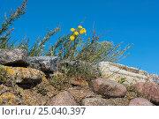 Купить «Полынь и осот на каменной стене», эксклюзивное фото № 25040397, снято 28 августа 2016 г. (c) Александр Щепин / Фотобанк Лори