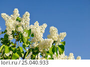Купить «Lilac bush on the background of the blue sky», фото № 25040933, снято 23 мая 2016 г. (c) Зезелина Марина / Фотобанк Лори