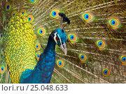 Купить «Peacock with Feathers Out», фото № 25048633, снято 9 января 2017 г. (c) Михаил Коханчиков / Фотобанк Лори