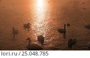 Купить «Лебединое озеро в Алтайском крае / Swans on Altai lake Svetloe in the evaporation mist at evening time in winter», видеоролик № 25048785, снято 25 января 2017 г. (c) Serg Zastavkin / Фотобанк Лори