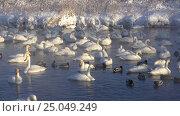 Купить «Лебединое озеро в Алтайском крае / Swans on Altai lake Svetloe in the evaporation mist at morning time in winter», видеоролик № 25049249, снято 28 января 2017 г. (c) Serg Zastavkin / Фотобанк Лори