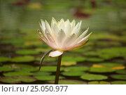 Цветок водной лилии крупно. Стоковое фото, фотограф Александр Абдураманов / Фотобанк Лори